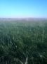 Ray-grass Hay