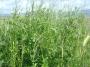 Vetch hay+ Raygrass + oats